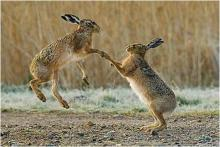 Two mad male March hares boxing on Elmley marshes