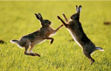 """Said to be """"mad"""" March hares because they start boxing as the mating season commences. These two fine fellows were snapped in Norfolk."""