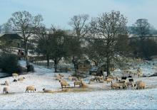 Snow scene with sheep